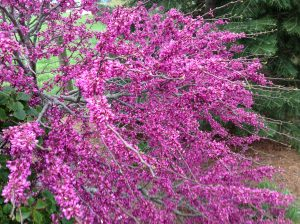 Locally grown fuschia tree